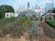 Vegetables grow in the shadow of the city's iconic skyline at Chicago Lights Urban Farm, where hoop dreams have given way to hoop houses.