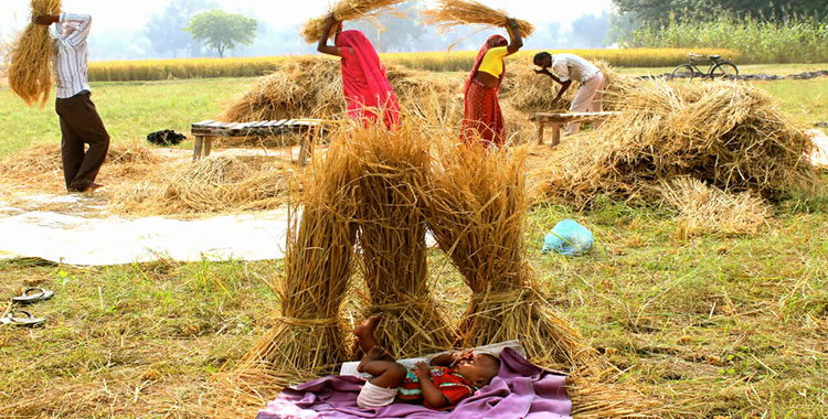 indian_rice_harvest